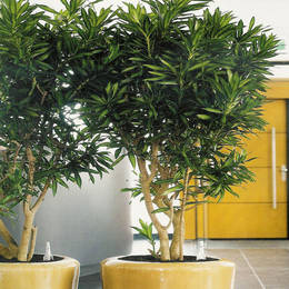 Couple Containers Planted With Dracaena Reflexa Live Trees