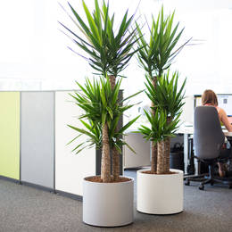Yucca Elephantipes In West Midlands Office