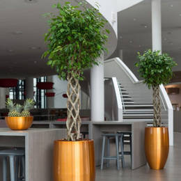 Ficus Open Braided Displays