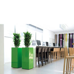 Dracaena Plants In Office Hot Desk  Area