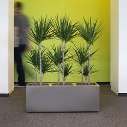 Dracaena Marginarta Plants In Rectangular Display