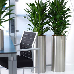 Cordyline Glorka Plants In Nuneaton Offices