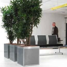 Dracaena Reflexa With Perforated Stainless Steel Planters