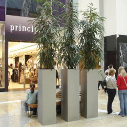 Tall Square Shopping Centre Plants With Ficus Arley Plants