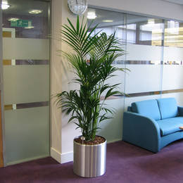 Kentia Palm Plant In Manchester Office Breakout Area
