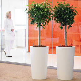 Ficus Ball Headed Trees With Straight Stems