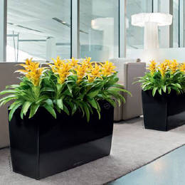 Low Rectangular Black Guzzmania Displays