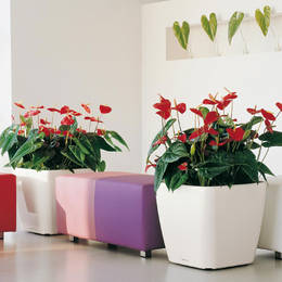 Large Square Quadro With Flowering Red Anthurium