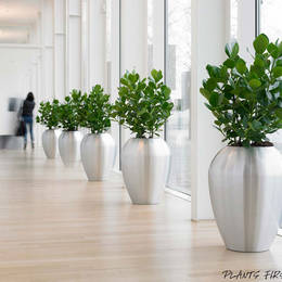 Ficus Displays In Nottingham Offices