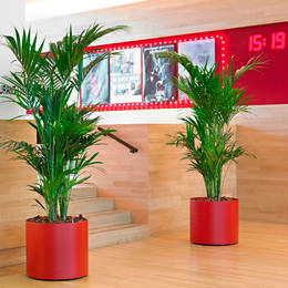 Kentia Palm Plants In The Entrance Of A Coventry Restauarnt