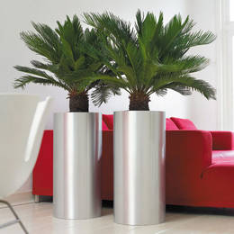 Cycad Palm Displays