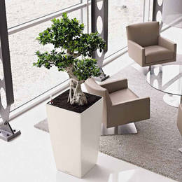 Ficus Ginseng Plant In Office Waiting Area