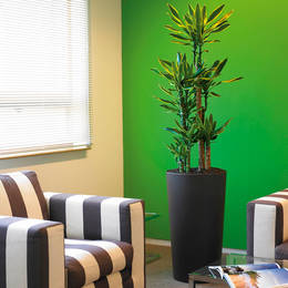 Dracaena Gold Coast In A Tall Circular Display