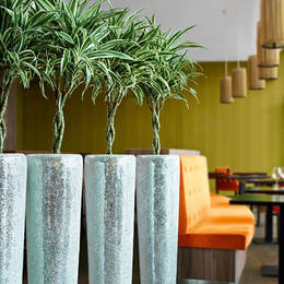 Dracaena White Jewel Braided stem plants in a Birmingham Restaurant