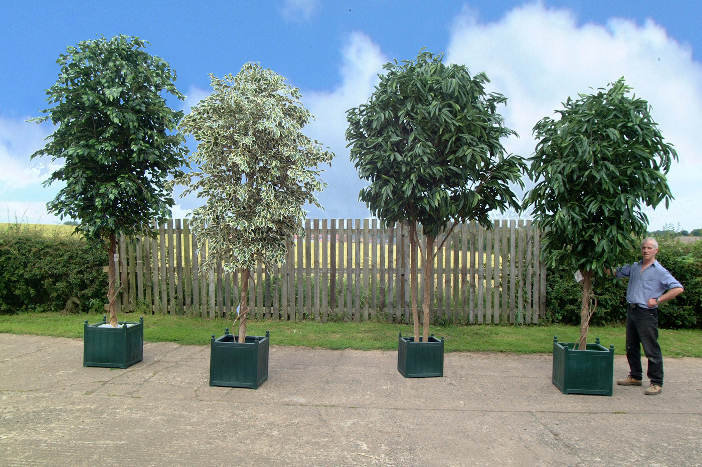 Bon Ball Headed Artificial Bay Trees · Large Ficus Trees With Different Foliage  ...