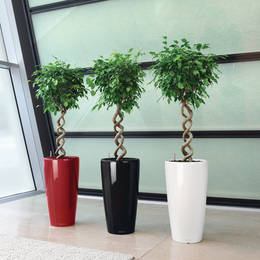 Minamalsistic And Striking ball headed Ficus Corkscrew Displays