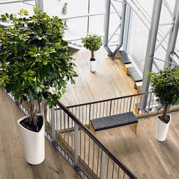 Tall Triangular Displays With Character Schefflera Plants