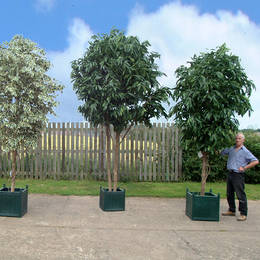 Large Ficus Trees With Different Foliage