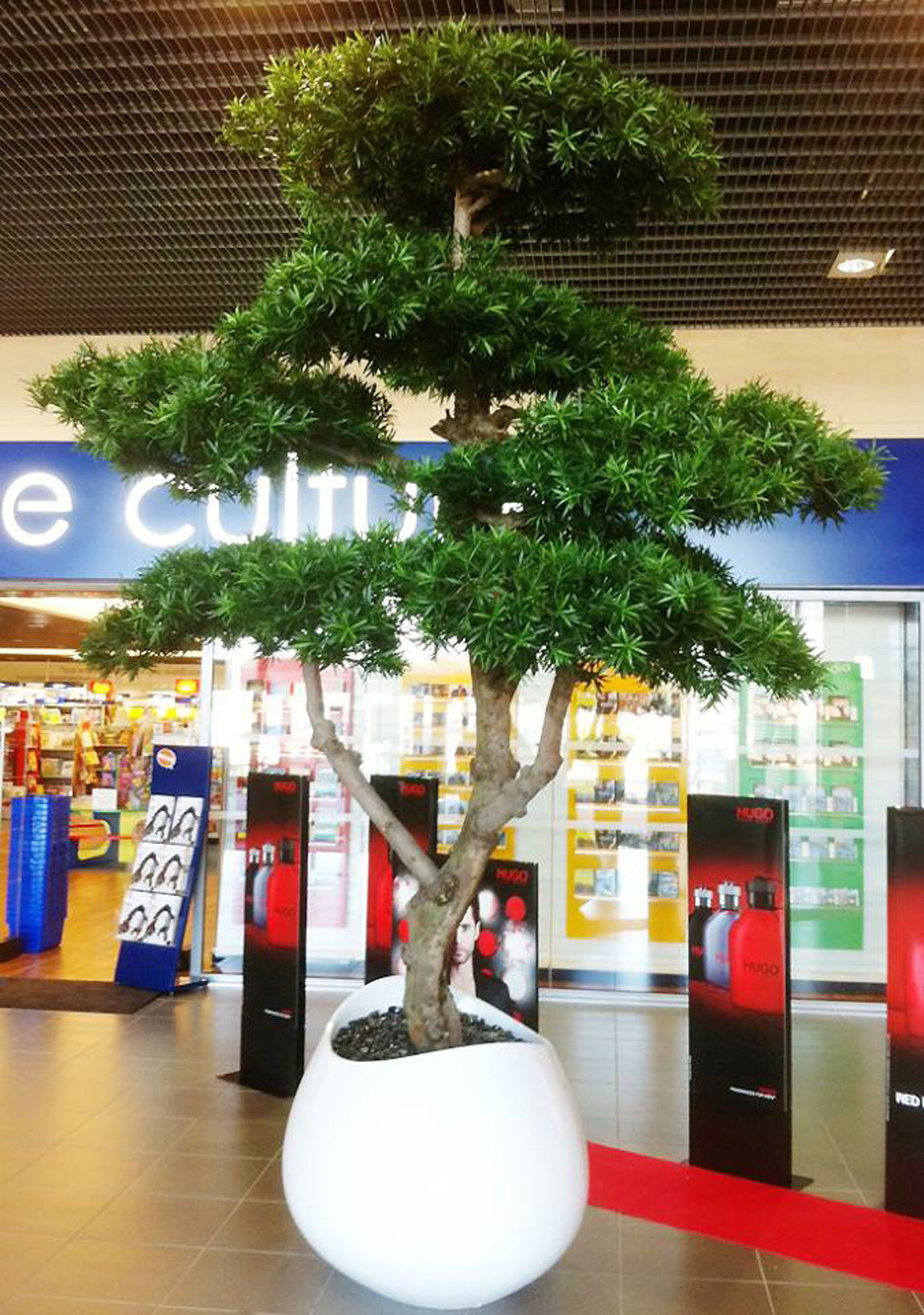 Delightful Real Indoor Trees Part - 11: ... Podacarpus Cloud Artificial Tree Planted In An Unusual White Plant  Container ...