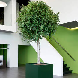 A large square dark green Cube container is planted with a beautiful Ficus tree which has a bare stem and ball shaped foliage