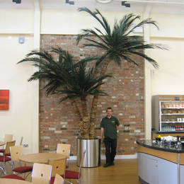 This triple stemmed Coco Palm has real preserved leaves and stands 4m tall in a company restaurant