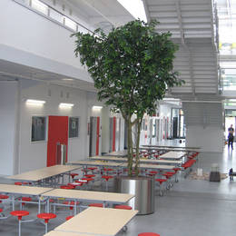 A brand new PFI School in Erdington, Birmingham has tall Artificial Ficus Trees