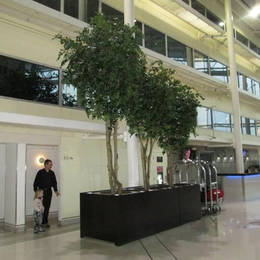 Tall Artificial Ficus Trees of varying heights in large bespoke black rectangular planters