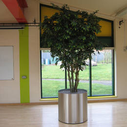 A school gymnasium & music hall has large low circular metal container with replica ficus trees on wheels
