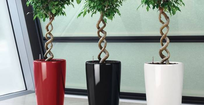 Informal Office Meeting And Breakout Area With Corkscrew stemmed Ficus Trees