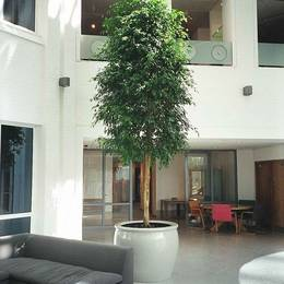 Statuesque Ficus tree adding value to a minimalistic office atrium