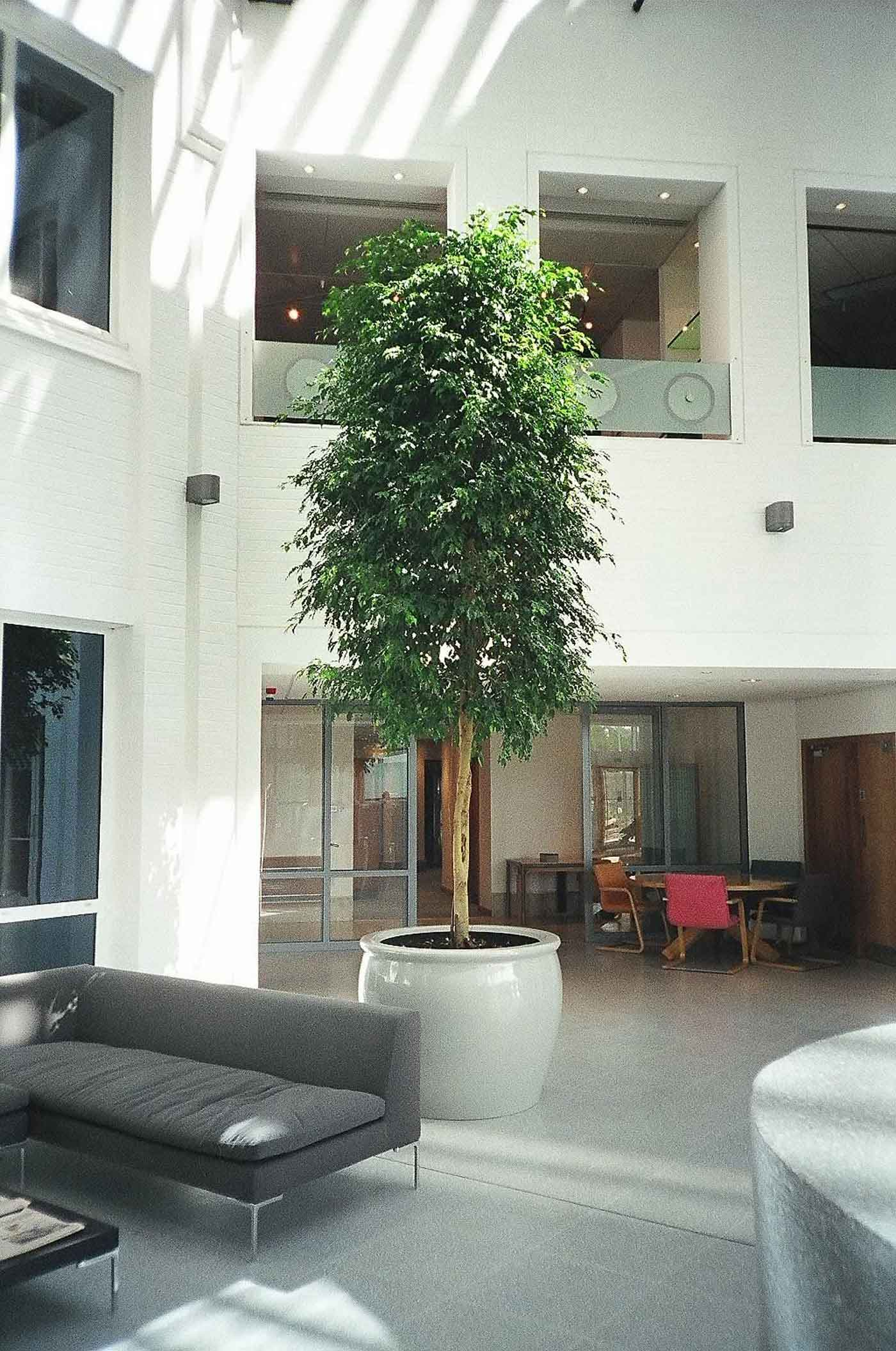Tall Tree Rental Large Interior Trees Live Amp Artificial