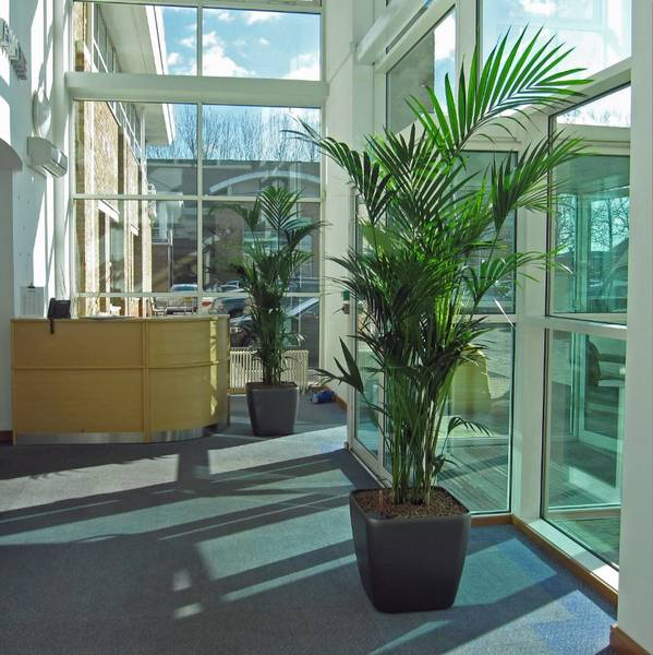 Large bushy green Palm Trees located in a sunny Solihull Reception area
