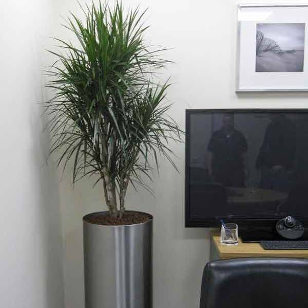 The Directors Office had a Tall Circular Display planted with a branched Dracaena Marginarta Plant