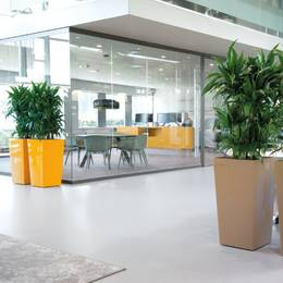 Tall Square Dracaena Janet Craig branched plants in an office atrium