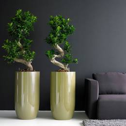 Ficus Microcarpa Ginseng Bonsai In Tall Gold Pots