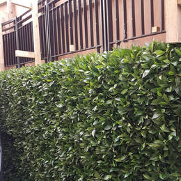 Artificial Green Wall with single species Bay Leaf foliage