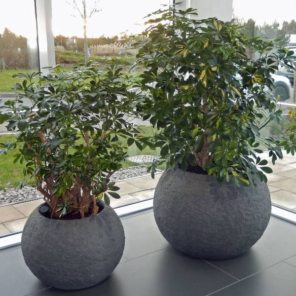 Rocky Office Plant Displays with Schefflera Gold Capella Branched plants